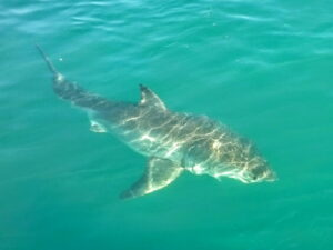 Great Whte Shark just below the surface in Gansbaai