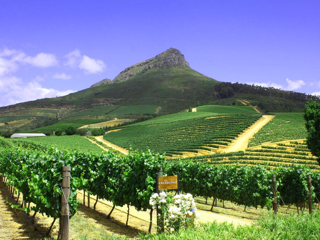 Chardonnay Grapes growing on Simonsberg