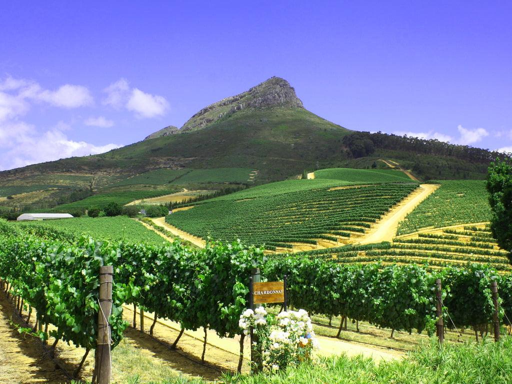 Chardonnay Grapes growing on Simonsberg
