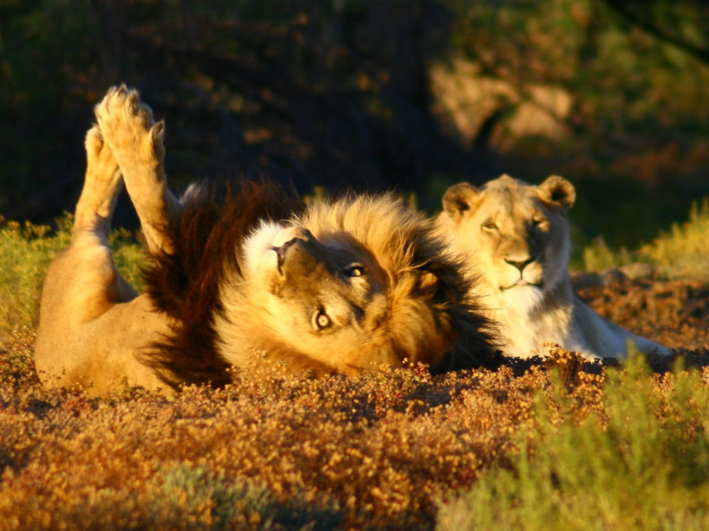 A Lion and lioness at Inverdoorn Private Reserve