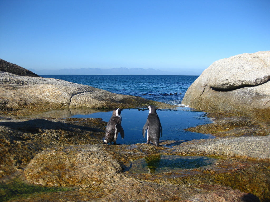 Penguins look to sea at Boulders Beach penguin sanctuary