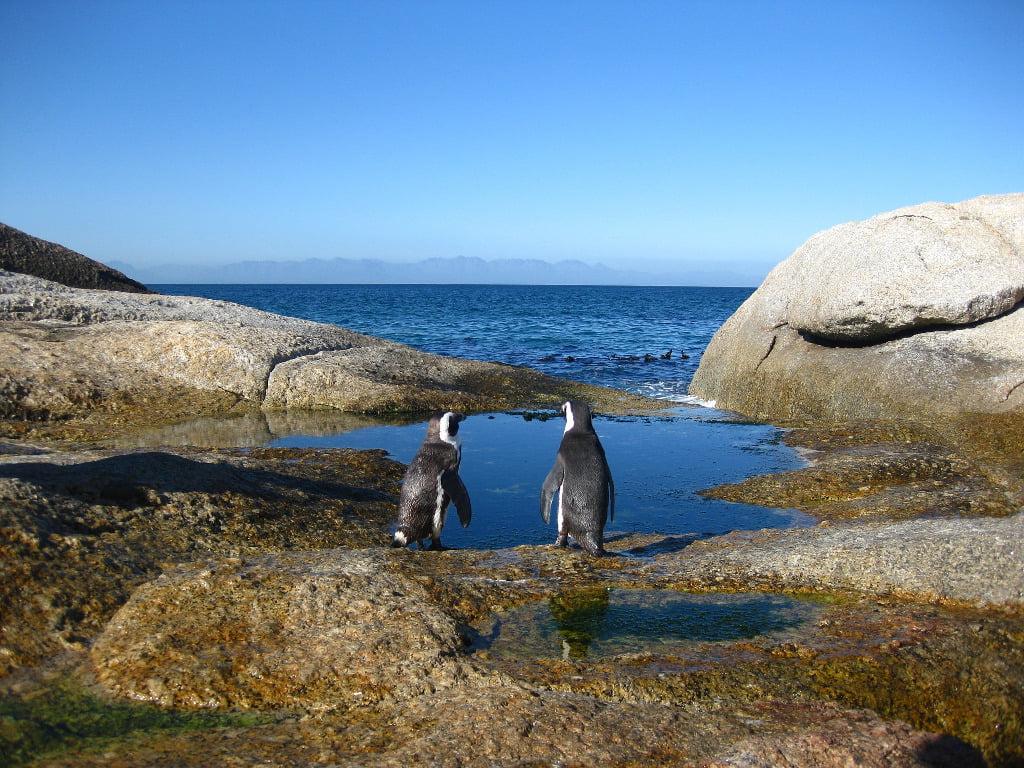 Penguins look to sea at Boulders Beach penguin sanctuary