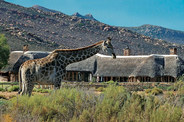 A Giraffe passes the lodge at Aquila Game Reserve