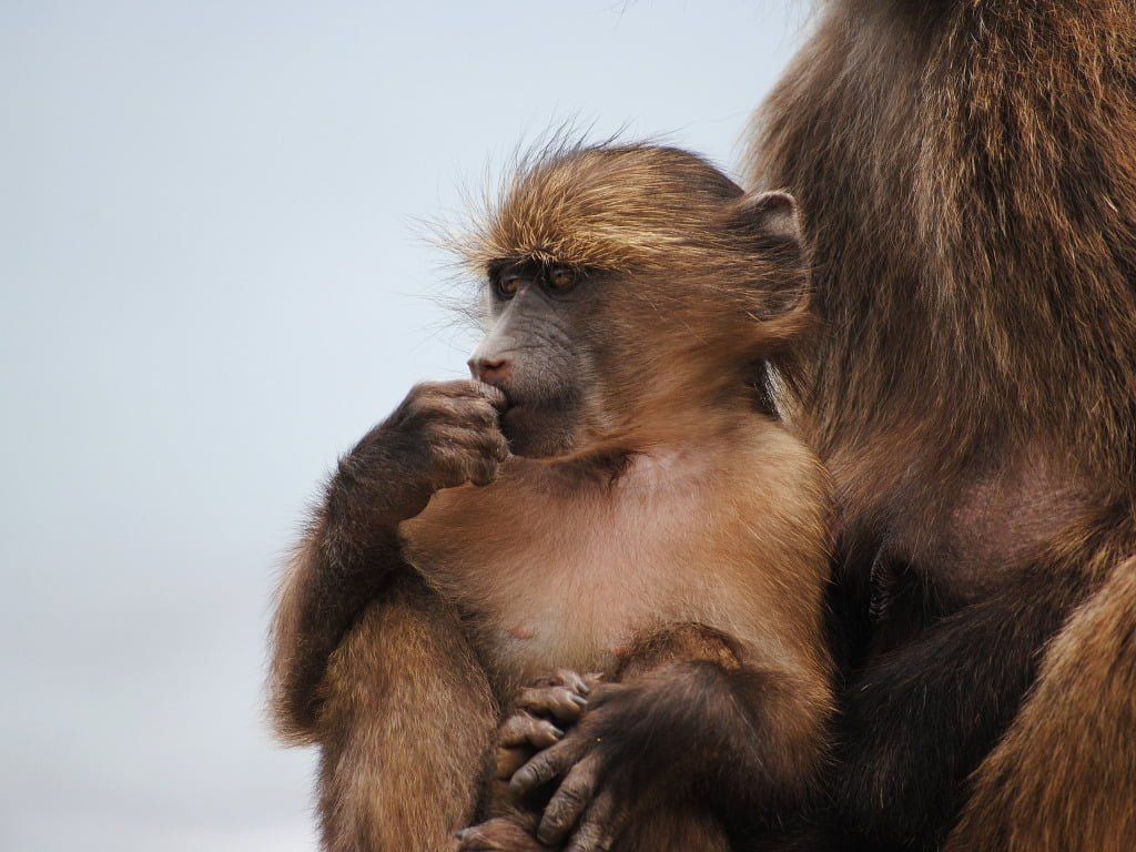 A baby Chacma baboon in his mothers lap at Cape Point
