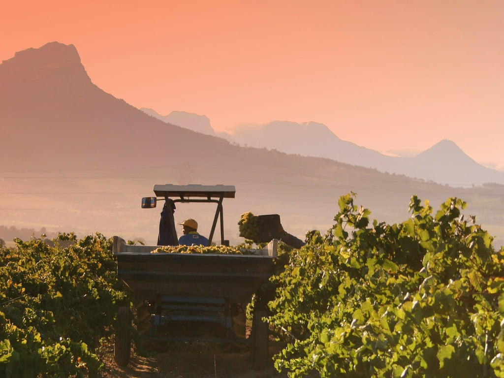 Harvesting Grapes at Sun Set