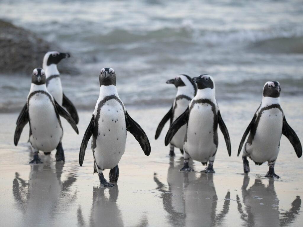 Penguins at Boulders Beach penguin Sanctuary