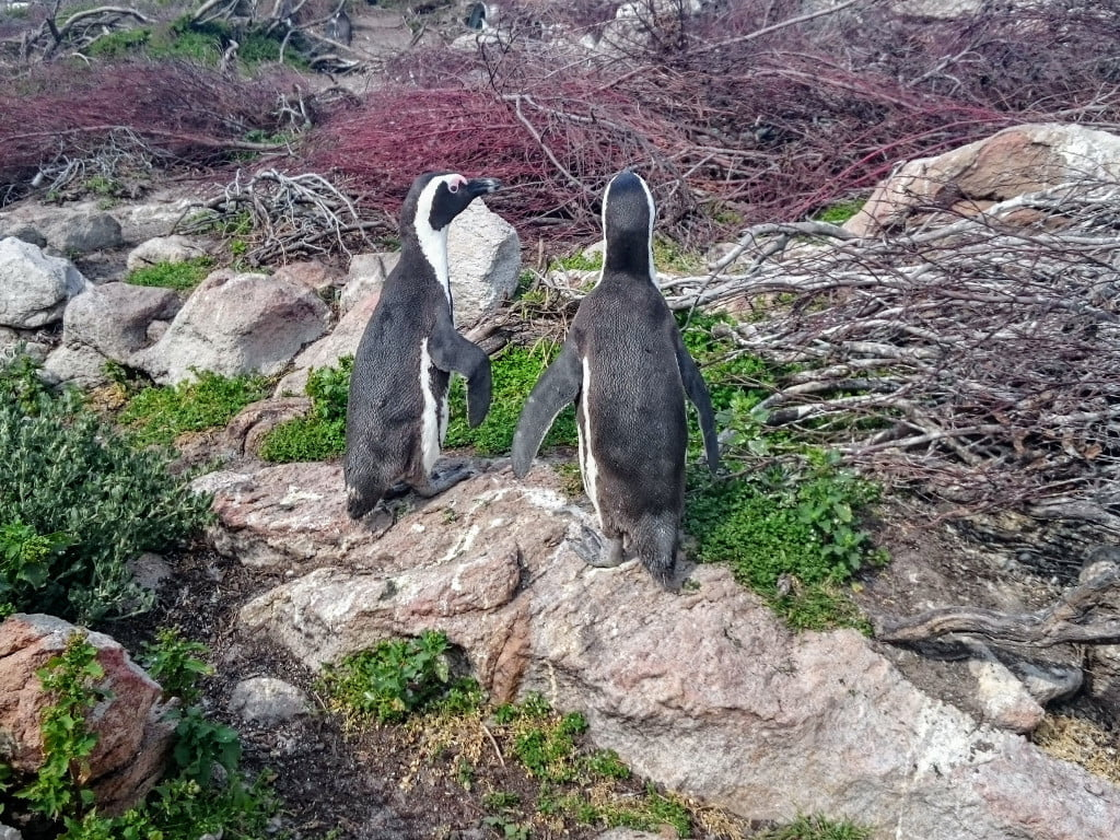 Stony Point is home to a large African Penguin Colony