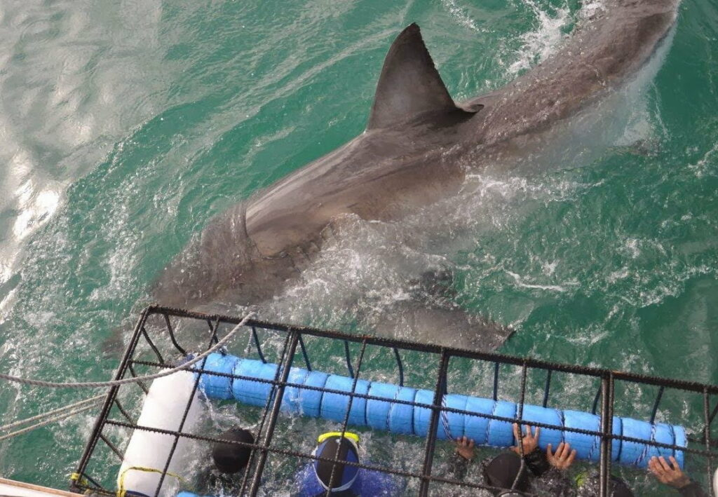 Great white shark passes the submerged divers in the cage