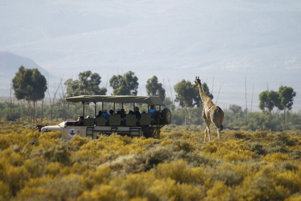 Giraffe on Safari at Inverdoorn Private Reserve