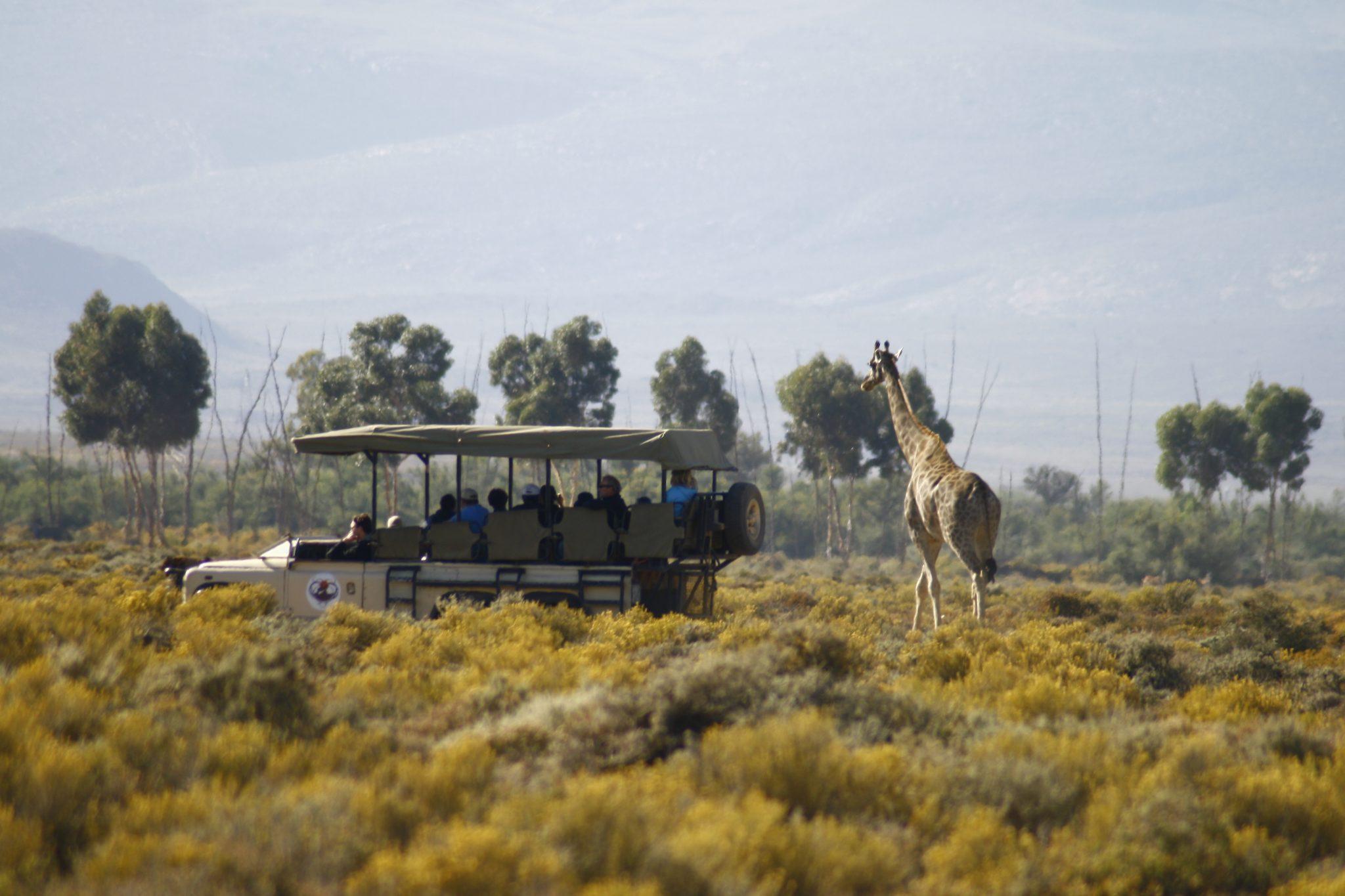 Giraffe on Safari at Inverdoorn Private Reserve