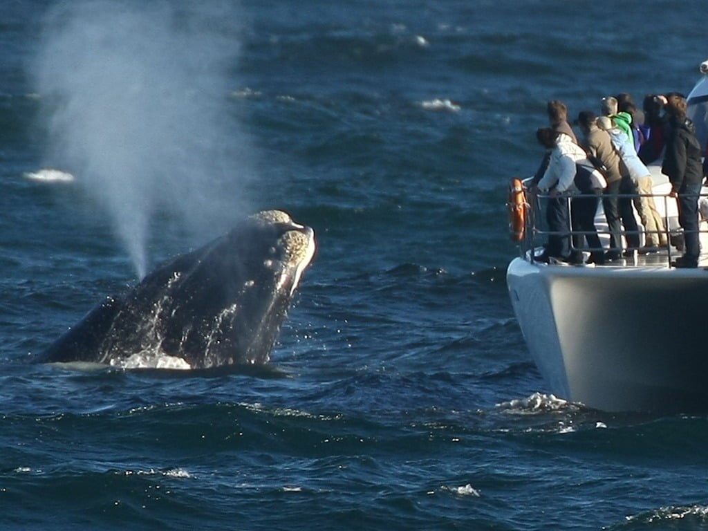 The Southern Right Whale approaches the boat