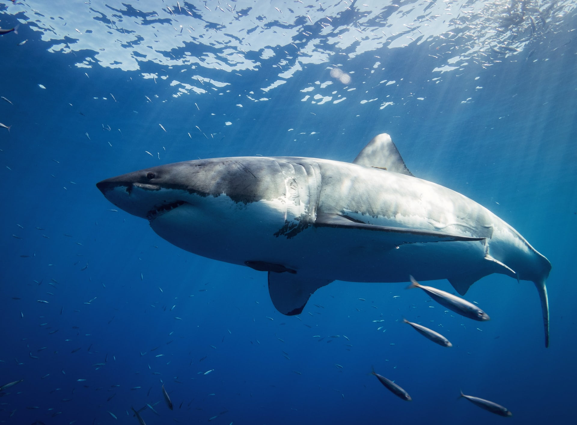 5 facts about Great White Shark
