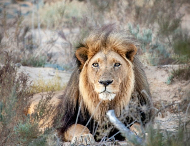 Lion at Aquila Private Game Reserve